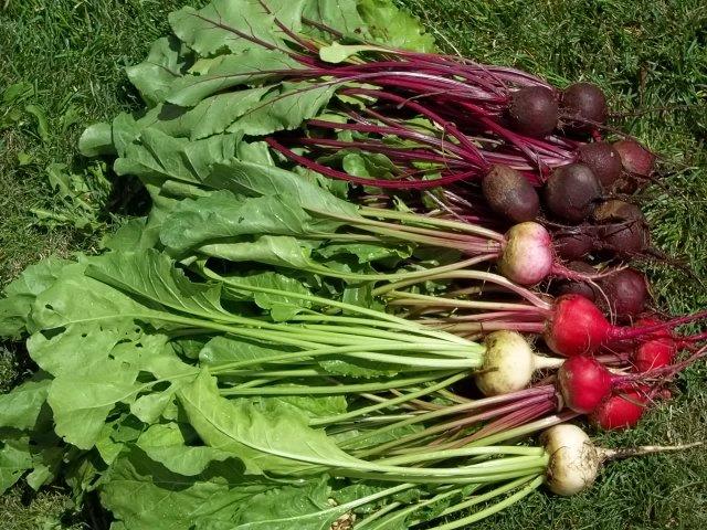 Garden-fresh beets